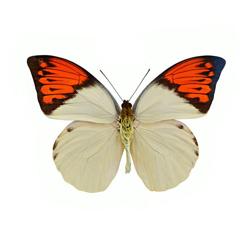Πίνακας Πεταλούδα