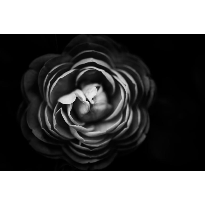 Μαύρο τριαντάφυλλο