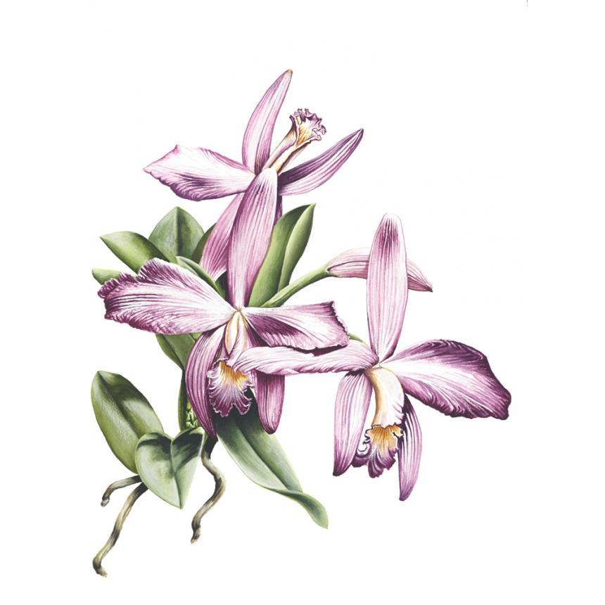 Πίνακας Ορχιδέες XIII